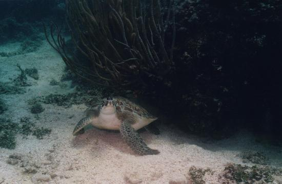 The Seagate: Sea Turtle