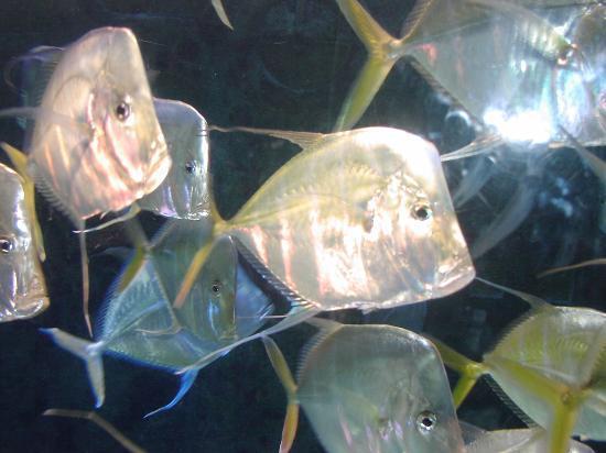 Atlantis - Harborside Resort: Pretty silver flat fish in The Dig