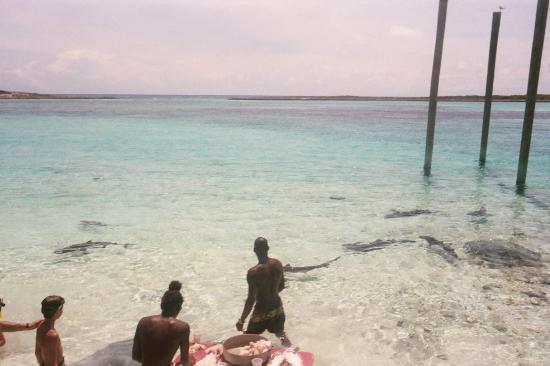 Nassau, New Providence Island: Attracting the sharks