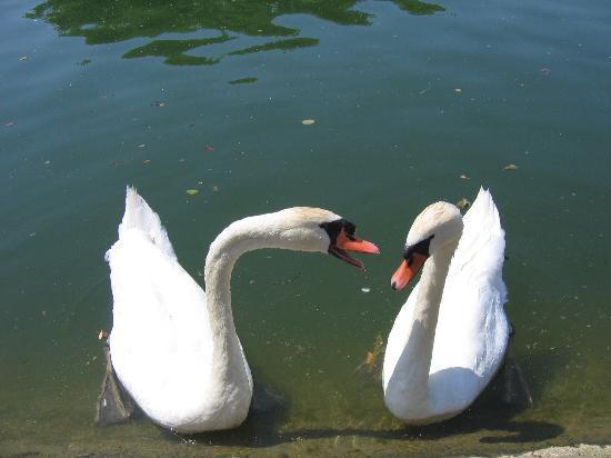 La Lucarne aux Chouettes : Swans on the Yonne