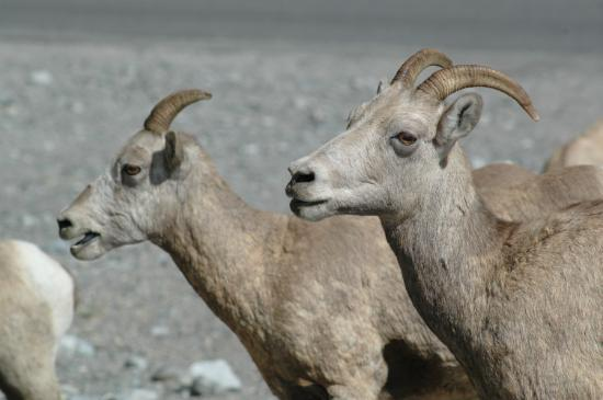 Banff Park Lodge Resort and Conference Centre: Rocky Mountain Sheep