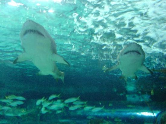 The Strand a Boutique Resort: sharks at ripley's aquarium