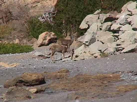 The Tides Inn of Shelter Cove: Deer on shoreline below the deck at The Tides Inn.