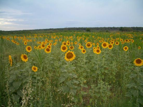 Punta Ala, Italia: A walk in the country - The sunflowers 1