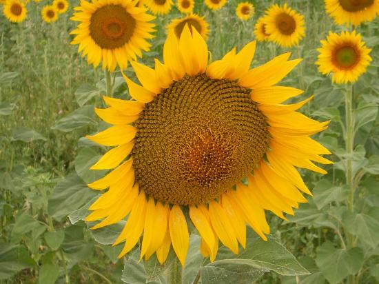 Punta Ala, Italia: A walk in the country - The sunflowers 2