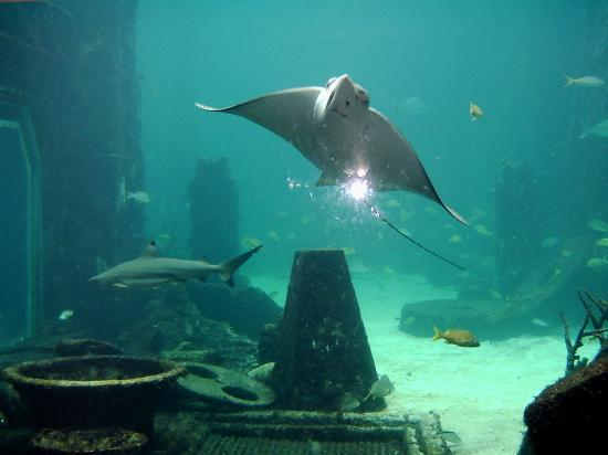 Atlantis, Royal Towers, Autograph Collection: Stingrays at The Dig