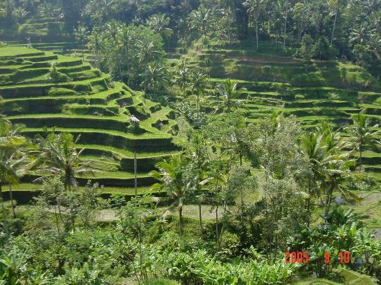 Tegal Sari: ricefields