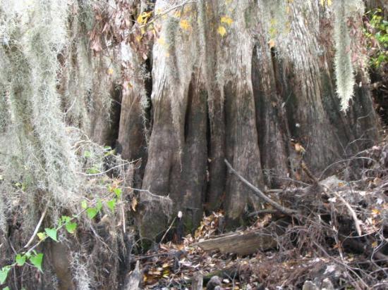 Lettuce Lake Regional Park: Cypress Tree Trunk