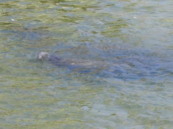 Tampa Electric Manatee Viewing Center: A Manatee Nose