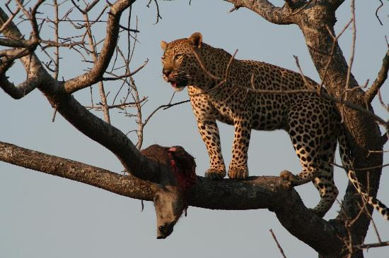 Londolozi Tree Camp-bild