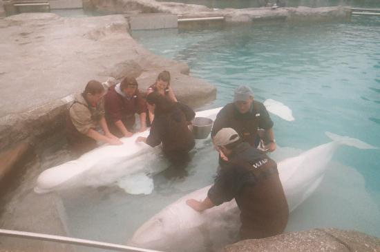 "Mystic, CT: ""The beluga whale contact program"""