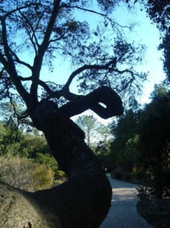 سانتا باربارا, كاليفورنيا: An interesting tree
