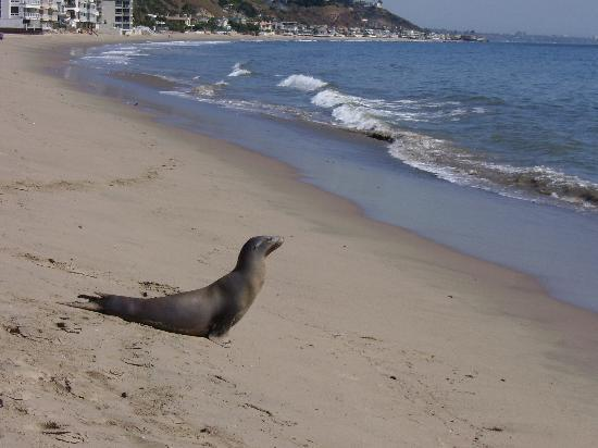 Malibu Beach Inn: An unexpected friend comes to suntan with us!