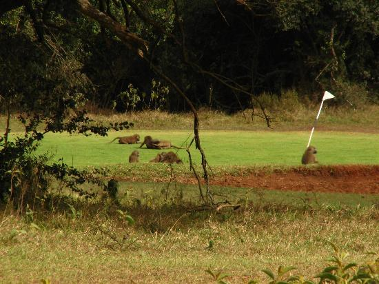 The Ark: Baboons on Aberdares Golf course