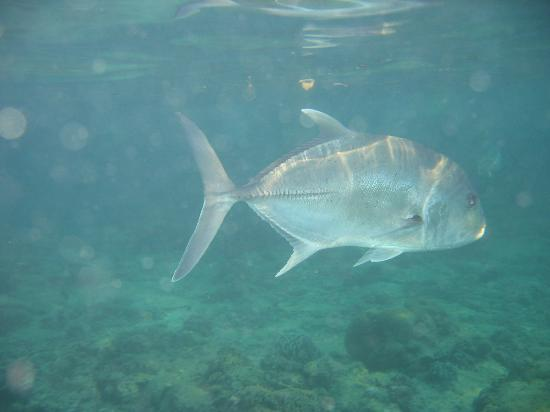 El Nido Resorts Miniloc Island : if you're not scared by large jackfish like this, go and explore the home reef beyond the...