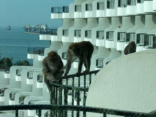 Shangri-La's Rasa Sentosa Resort & Spa: Monkeys on the balcony