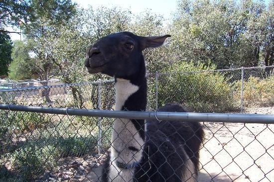 Prescott, AZ: A Lllama. Careful, it spits.