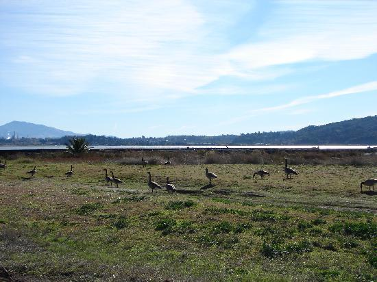Union Hotel: Canadian Geese on Benecia Bay