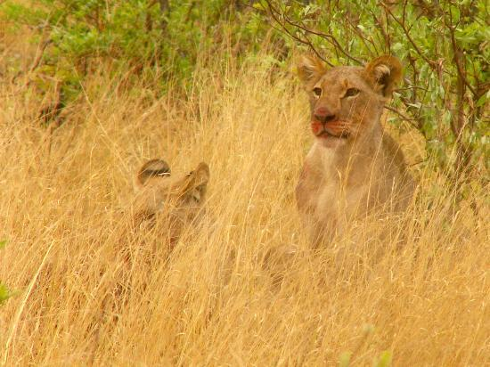 Matetsi Private Game Reserve: Breakfast for the cubs