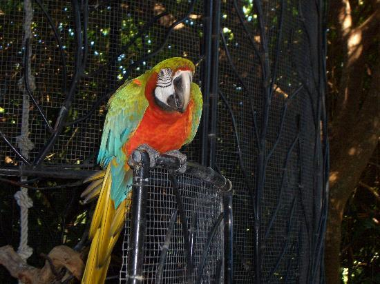Barbados Wildlife Reserve: A friendly parrot