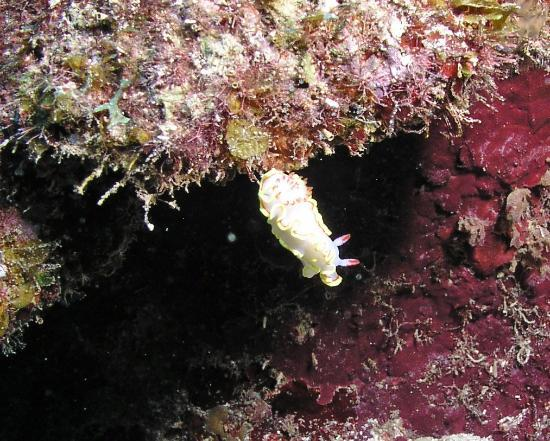 Paya Bay Resort: Red-Tipped Sea Goddess - rare