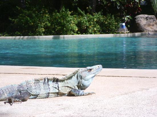 Hotel Capitan Suizo Beach Front Hotel Boutique : Hotel's  poolside lizard
