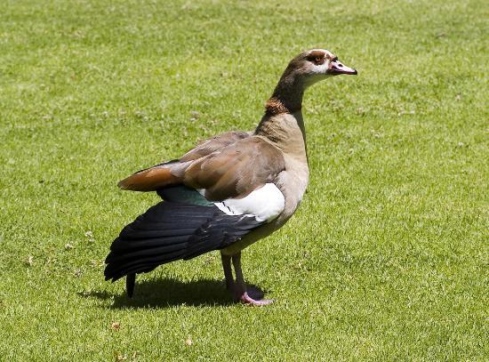 Vineyard Hotel: I did not get the tortoises but this one of the geese.
