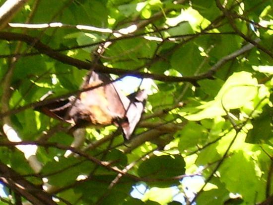 Lily Beach Resort & Spa: Fruit bat
