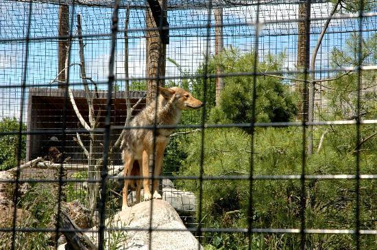 Buttonwood Park Zoo: Coyote Exhibit