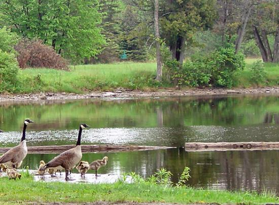 Otonabee-South Monaghan, Canada: Geese at Hope Mill