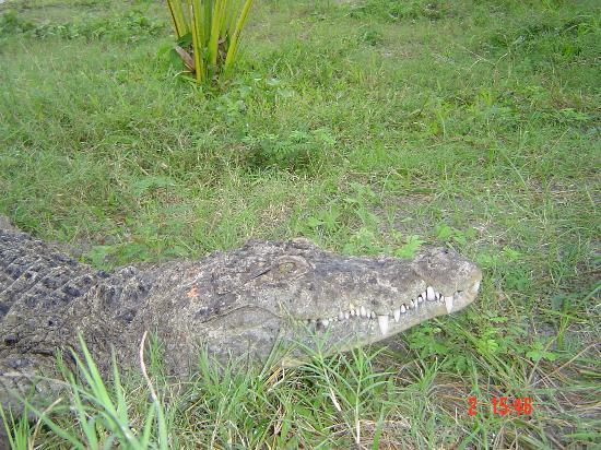 Davao City, Philippines: Another crocodile