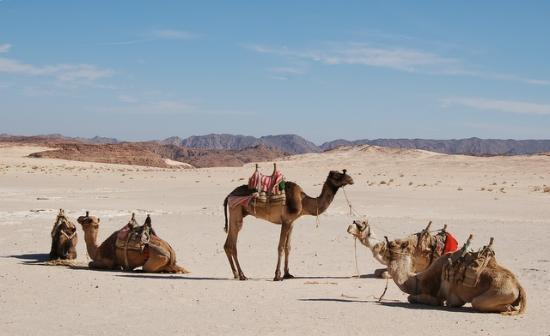 Red Sea and Sinai, Egypt: limos have arrived