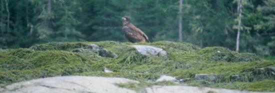 Stanwood Homestead Museum and Bird Sanctuary: Young Acadian Eagle