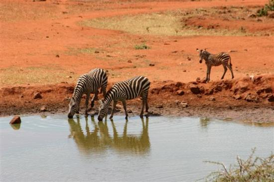 Kilaguni Serena Safari Lodge: Zebra drinking at watering hole