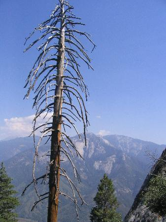 Sequoia and Kings Canyon National Park, Californië: A cool looking dead tree along the path to the top of Moro Rock