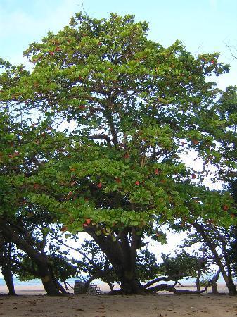 Club Villas Jazmin: tree at the beach