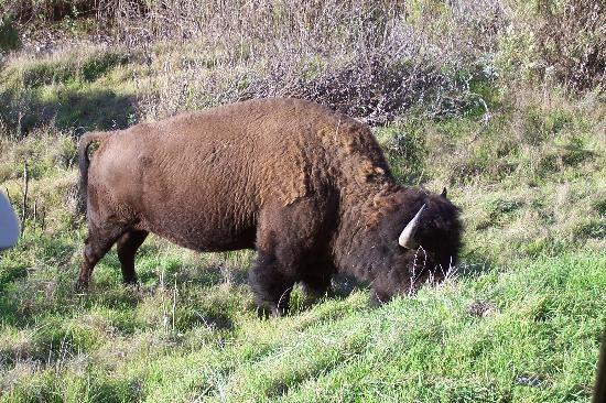 Avalon, CA: Expect to see the buffalo on the outback tour