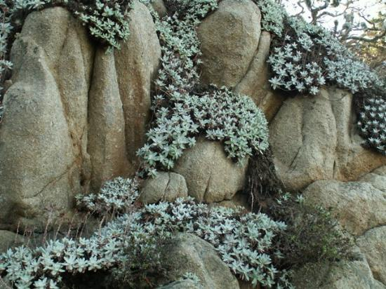Succulents Growing On The Rocks Picture Of Point Lobos Carmel