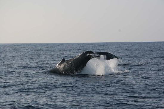 Captain Dan McSweeney's Whale Watching Adventures : whale tail