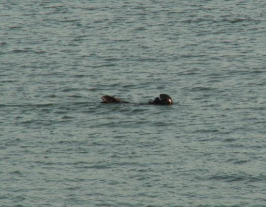 Morro Rock: Otter eating in the calm waters of Morro Bay