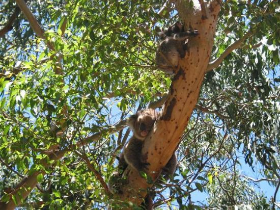 Mercure Kangaroo Island Lodge: Koala walk: mother and cub sleeping