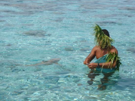 Le Taha'a Island Resort & Spa: Shark Feeding