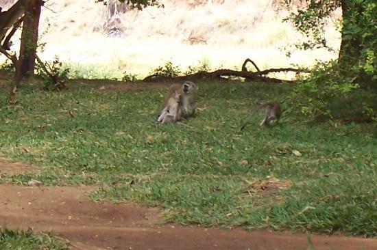 Samburu National Reserve, Kenya : the monkeys!