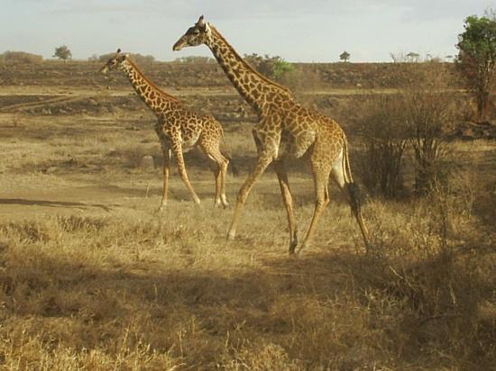 Fairmont Mara Safari Club: giraff