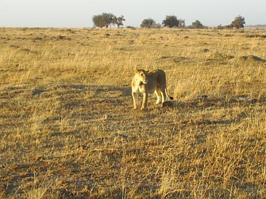 Fairmont Mara Safari Club: lioness