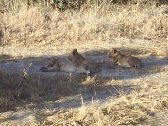 Fairmont Mara Safari Club: lion cubs