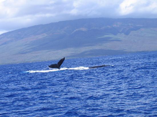 Wailea Ekolu Village Resort: photo from PWF Whale watching tour