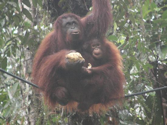 Kuching, Malaysia: Orangutang