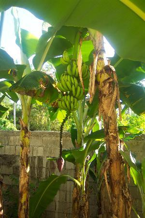 White Sands Negril: Bananas growing right outside our door!