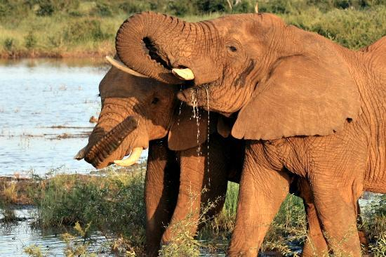 Madikwe Game Reserve, Afrika Selatan: Elephants at the Water Hole